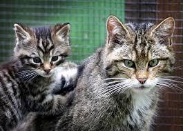 wildcat picture