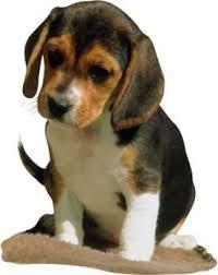 Personalizar avatars y firmas. Beagle-puppy