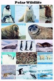 polar wildlife