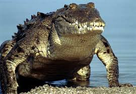 alligators facts
