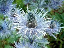 blue star sea holly