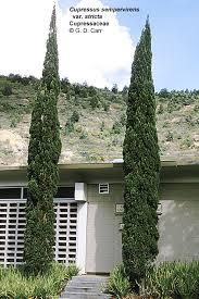 italian cypress roots