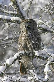 great gray owl pictures