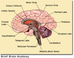 brain anatomy picture