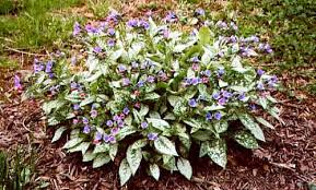 lungwort plant
