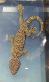 http://t0.gstatic.com/images?q=tbn:6ccIP0djzZpqAM:http://upload.wikimedia.org/wikipedia/commons/4/46/Gekkoninae_Gekko_gecko.png