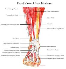 leg muscles and tendons