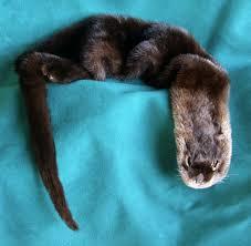 badger pelt