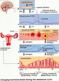 hormonal changes in menstrual cycle