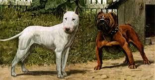 pitbull guard dog