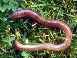 earthworms pictures