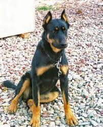 beauceron pictures