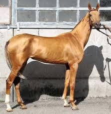 turkoman horse