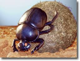 dung beetle pictures