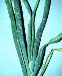 onion thrips