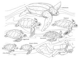 sea turtle coloring sheets