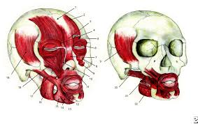 face muscles anatomy