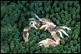 anemone crabs