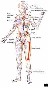 diagram of the lymph nodes