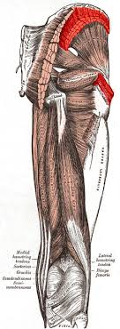 medial muscle