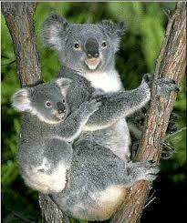 koala pictures