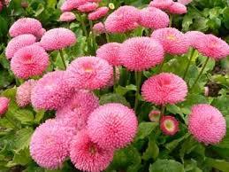 daisy varieties
