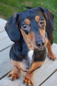 miniature dog breed