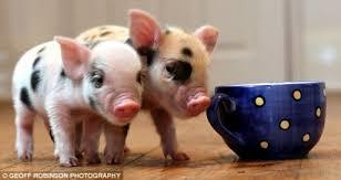 pet teacup pigs