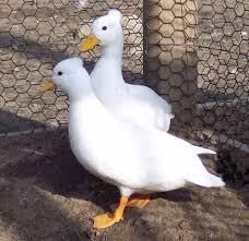 call duck breeds