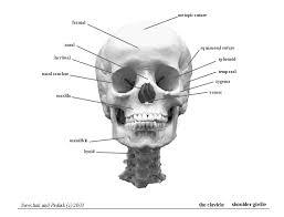 human head skeleton