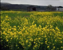 mustard growing