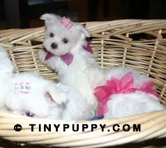 maltese puppies for free