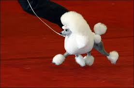 french poodle picture