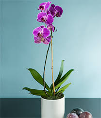 purple orchid picture