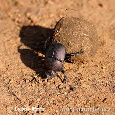 pictures of dung beetles