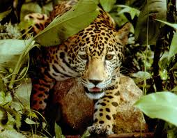 jaguars eat