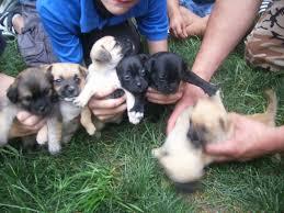 pug mix puppies