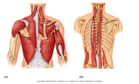 muscles of the upper body