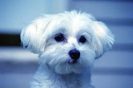 Maltese Dog Wallpaper