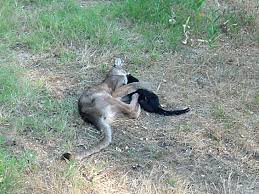 mountain lions attack