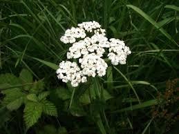 planta juana la blanca