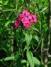 dianthus plants