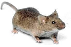 mouse white