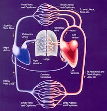 cardiovascular system photos