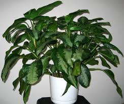 chinese evergreen tree