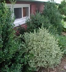 buxus variegata