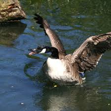 canadian geese attack