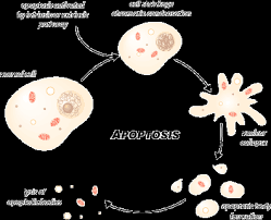 apoptosis pictures