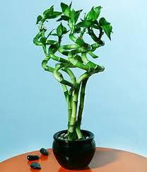dracaena bamboo