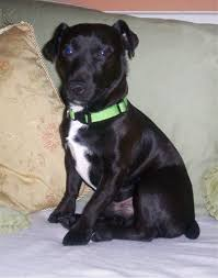 patterdale terrier breeder